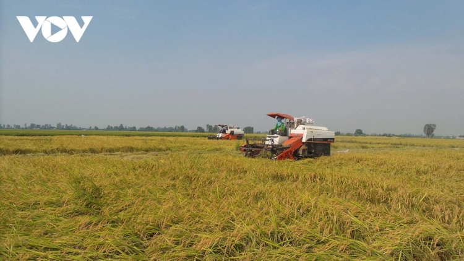 Vận chuyển tiêu thụ nông sản vẫn có nơi còn ách tắc, giá xuống thấp
