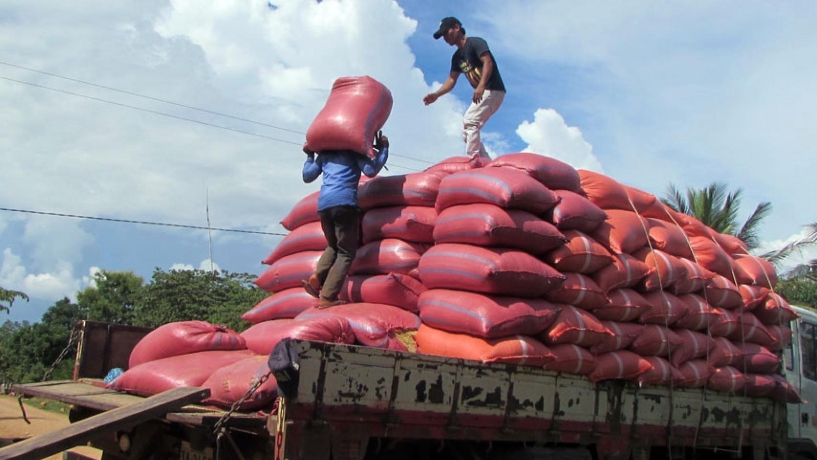"""Doanh nghiệp Campuchia được """"bơm"""" tiền để thu mua thóc cho nông dân"""