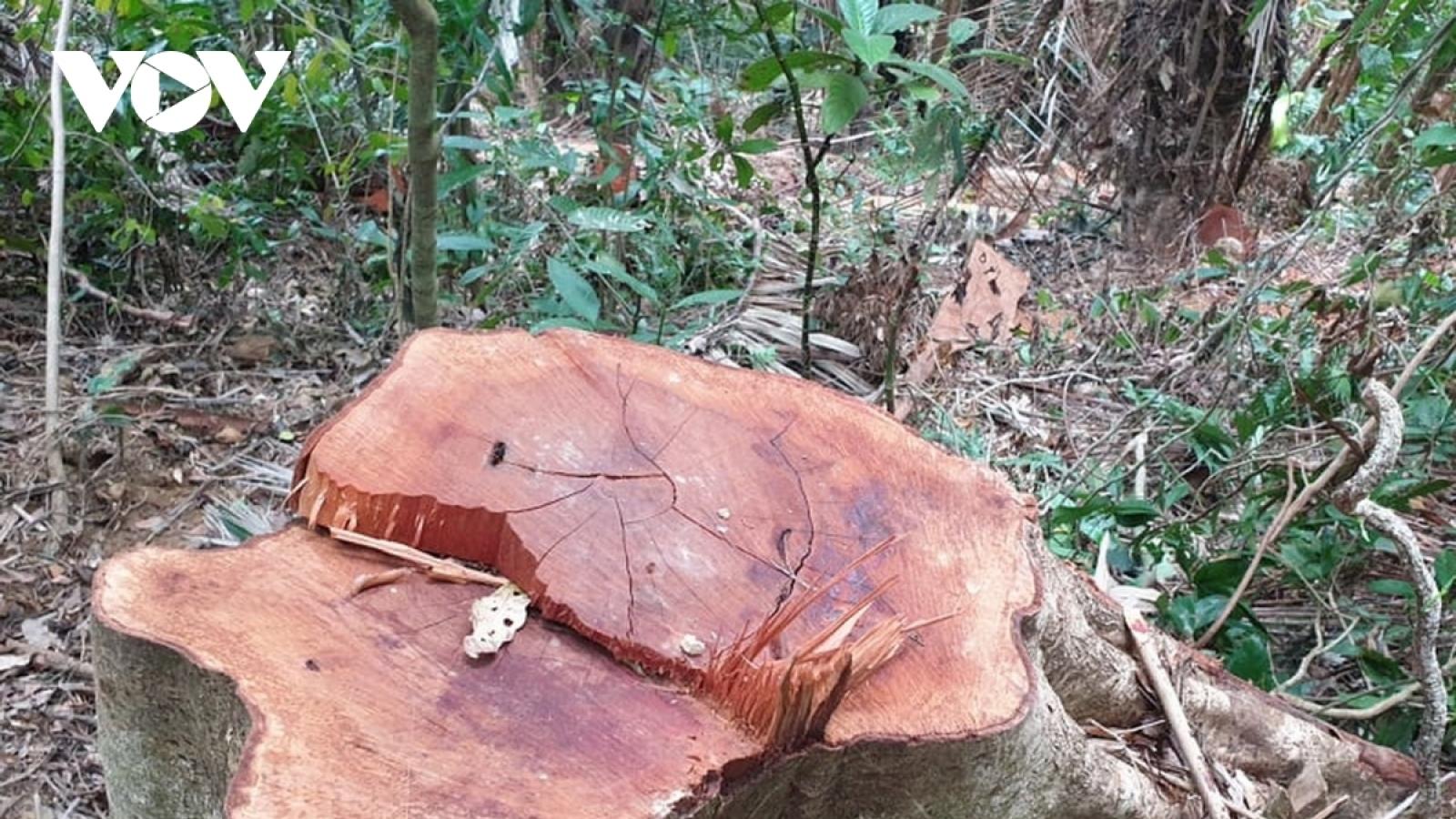 Quảng Trị kỷ luật cán bộ liên quan để xảy ra phá rừng
