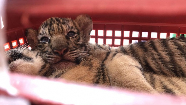 Two arrested for illicitly transporting seven tiger individuals