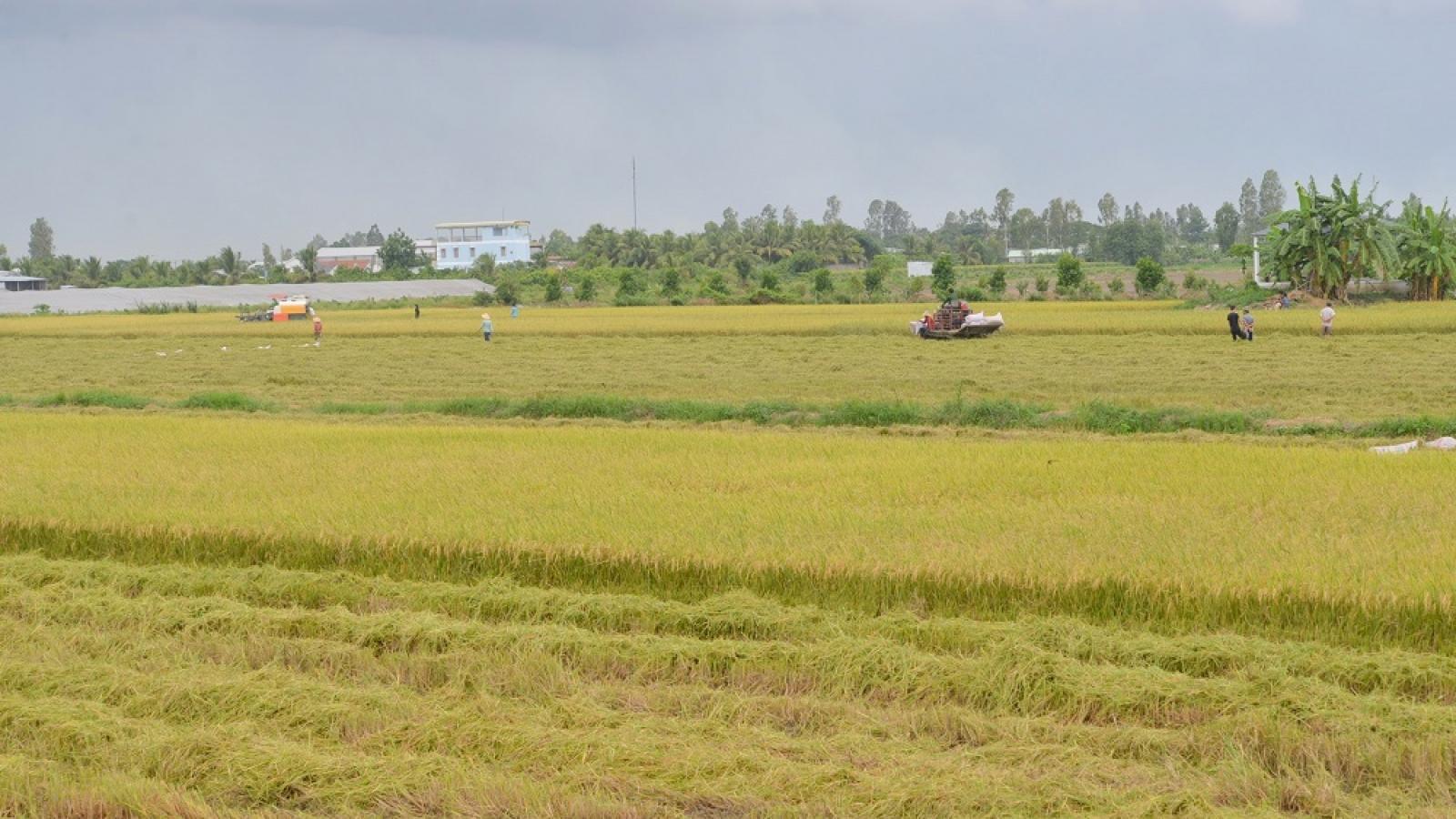Vừa vật lộn phòng chống dịch, vựa lúa miền Tây khó khăn tìm giải pháp tiêu thụ lúa gạo