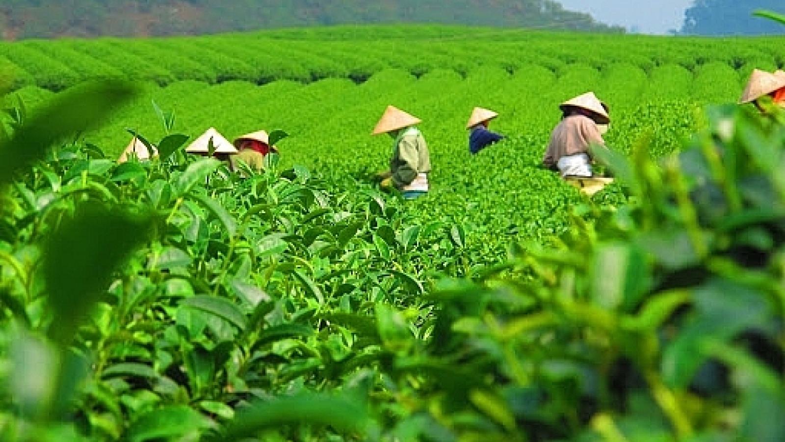 Market share of Vietnamese tea increases in Australia
