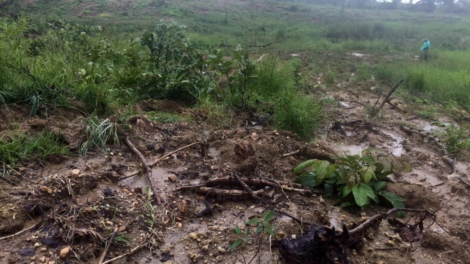 Gia Lai điều tra vụ 34,6 ha rừng phòng hộ bị san ủi để trồng bạch đàn