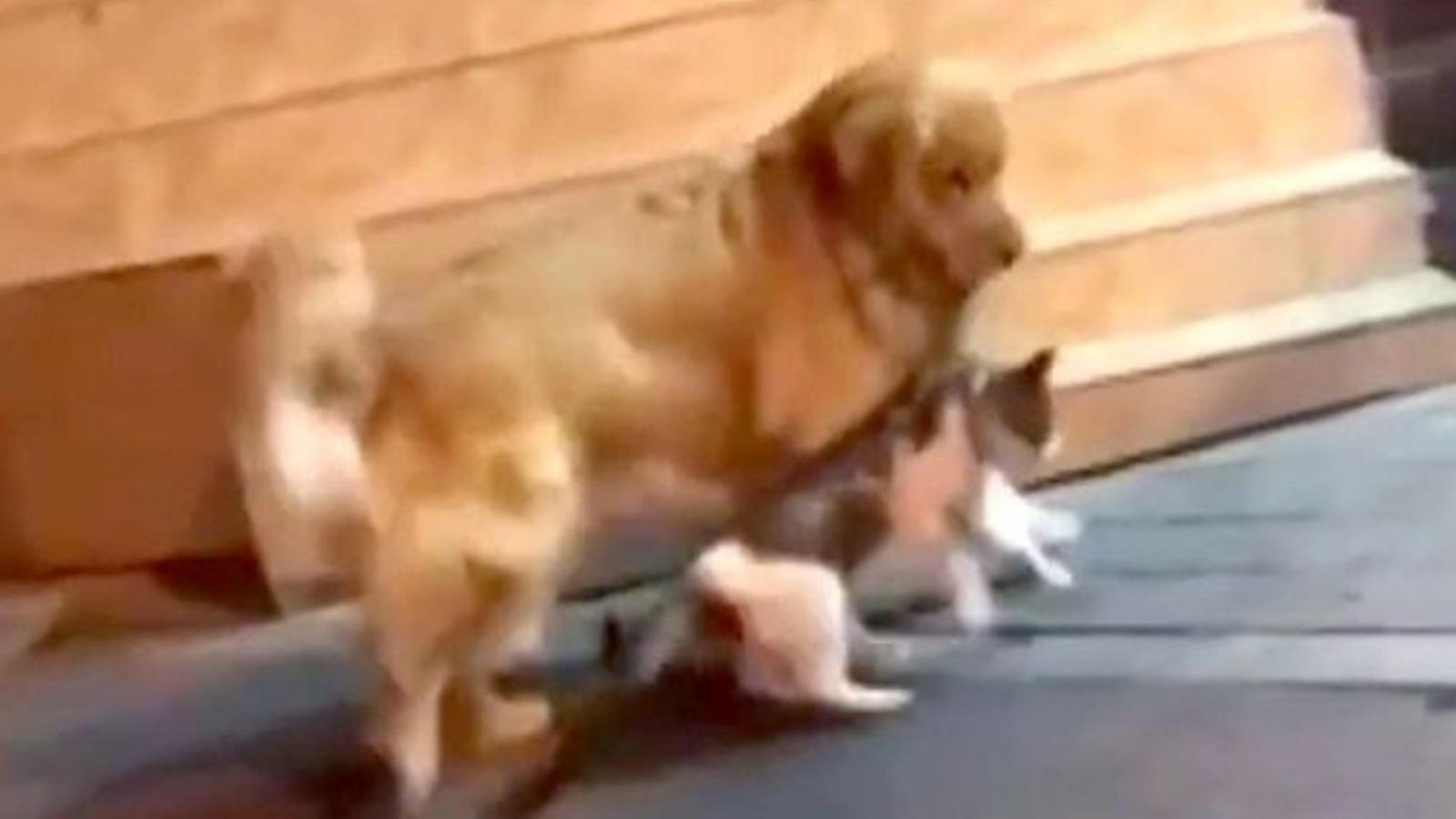 Video: Thấy 2 chú mèo chuẩn bị đánh nhau, chú chó can thiệp kịp thời