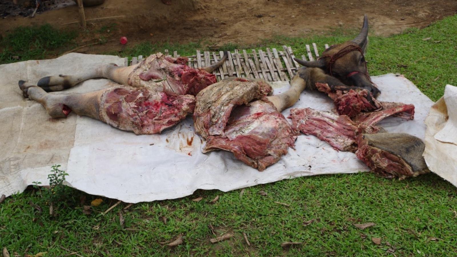 Nhóm đối tượng trộm trâu, đưa đến khu vực vắng xẻ thịt bán
