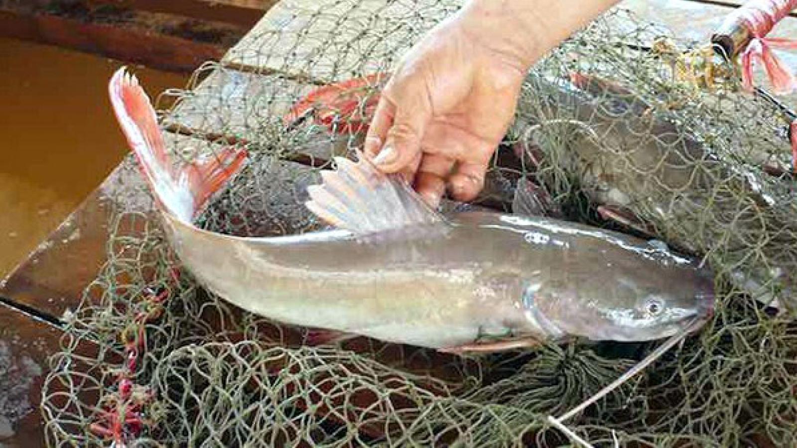 Ươm giống cá lăng đuôi đỏ, dân miền Tây thu tiền tỷ mỗi năm