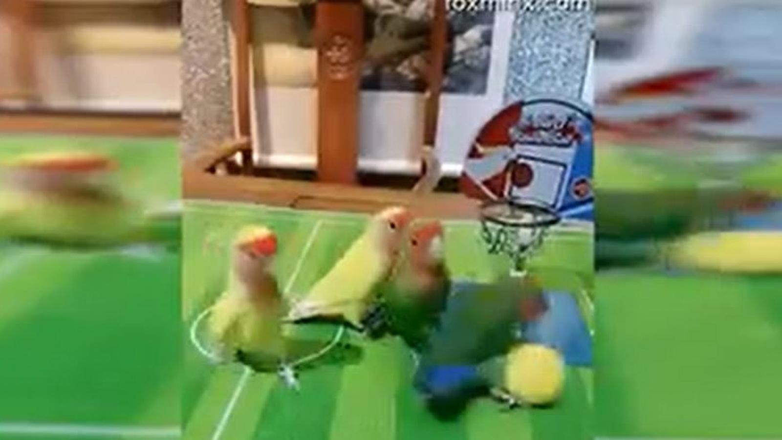 """Cảnh tượng hài hước khi những chú vẹt chơi bóng rổ """"chuyên nghiệp"""" như vận động viên"""