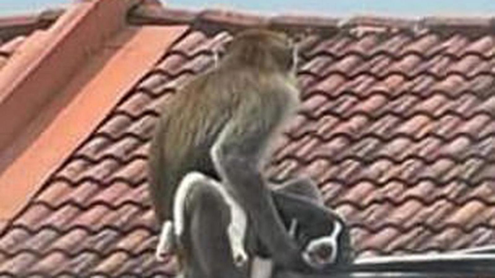 """Video: Gay cấn màn giải cứu chó con bị khỉ hoang bắt cóc làm ... """"con tin"""""""