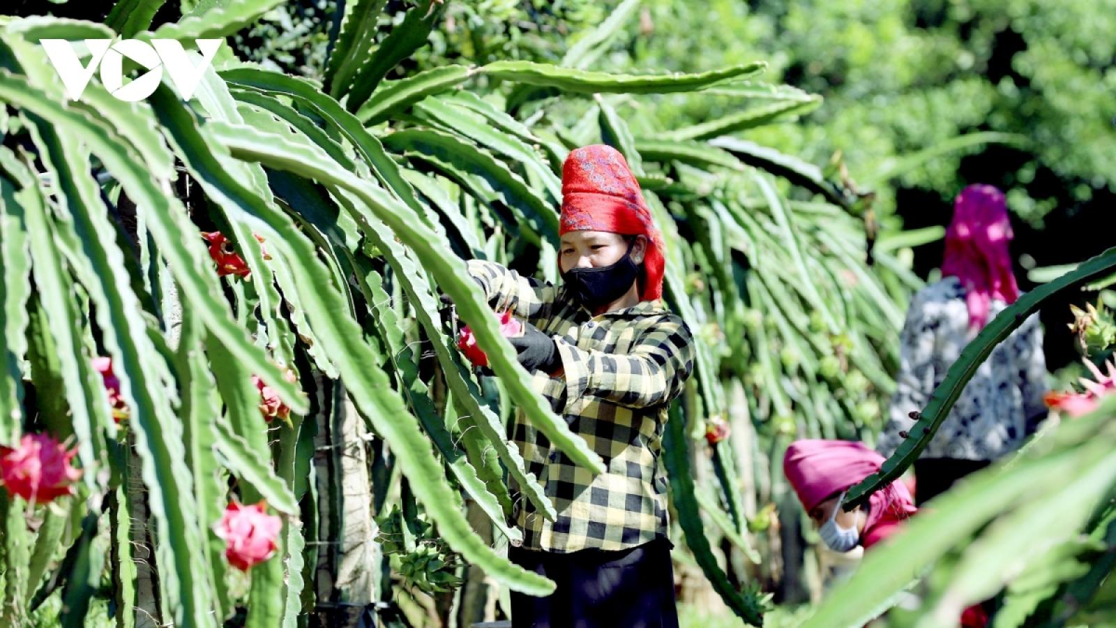 Vietnamese dragon fruit enjoys advantages in international market