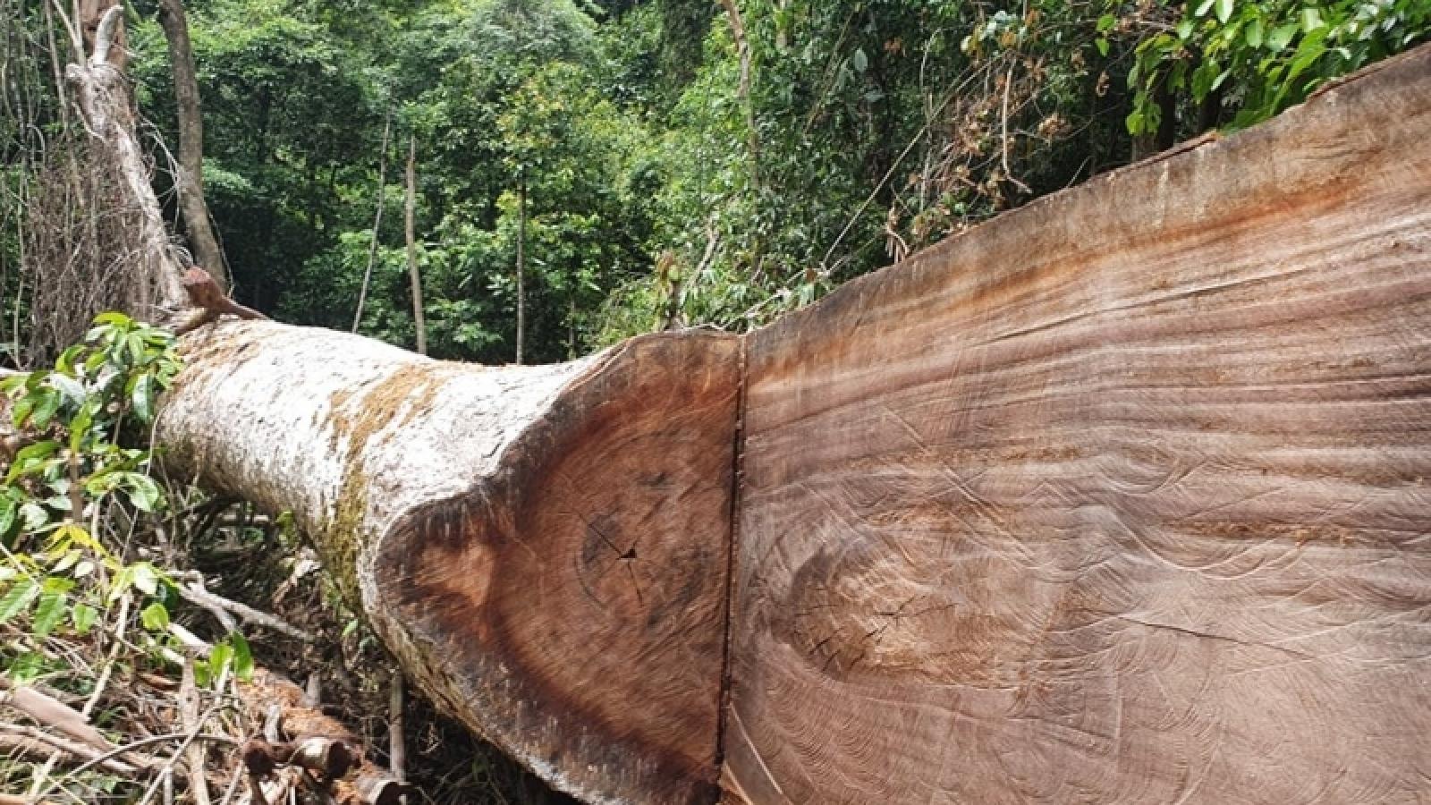 Làm rõ trách nhiệm để xảy ra phá rừngtại rừng phòng hộ A Lưới