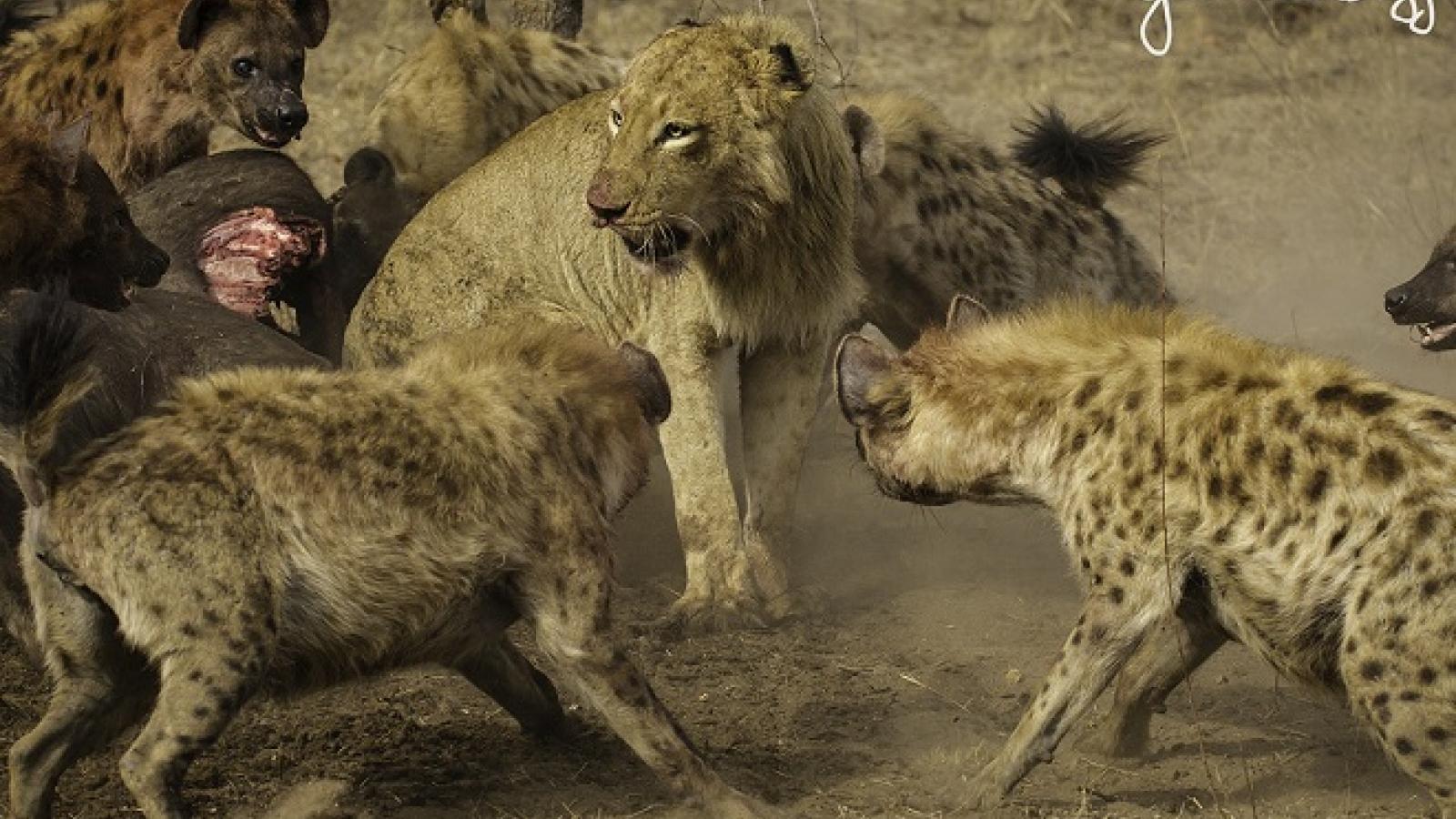 Video: Đàn sư tử giải cứu đồng loại khỏi cuộc tấn công của bầy linh cẩu đói