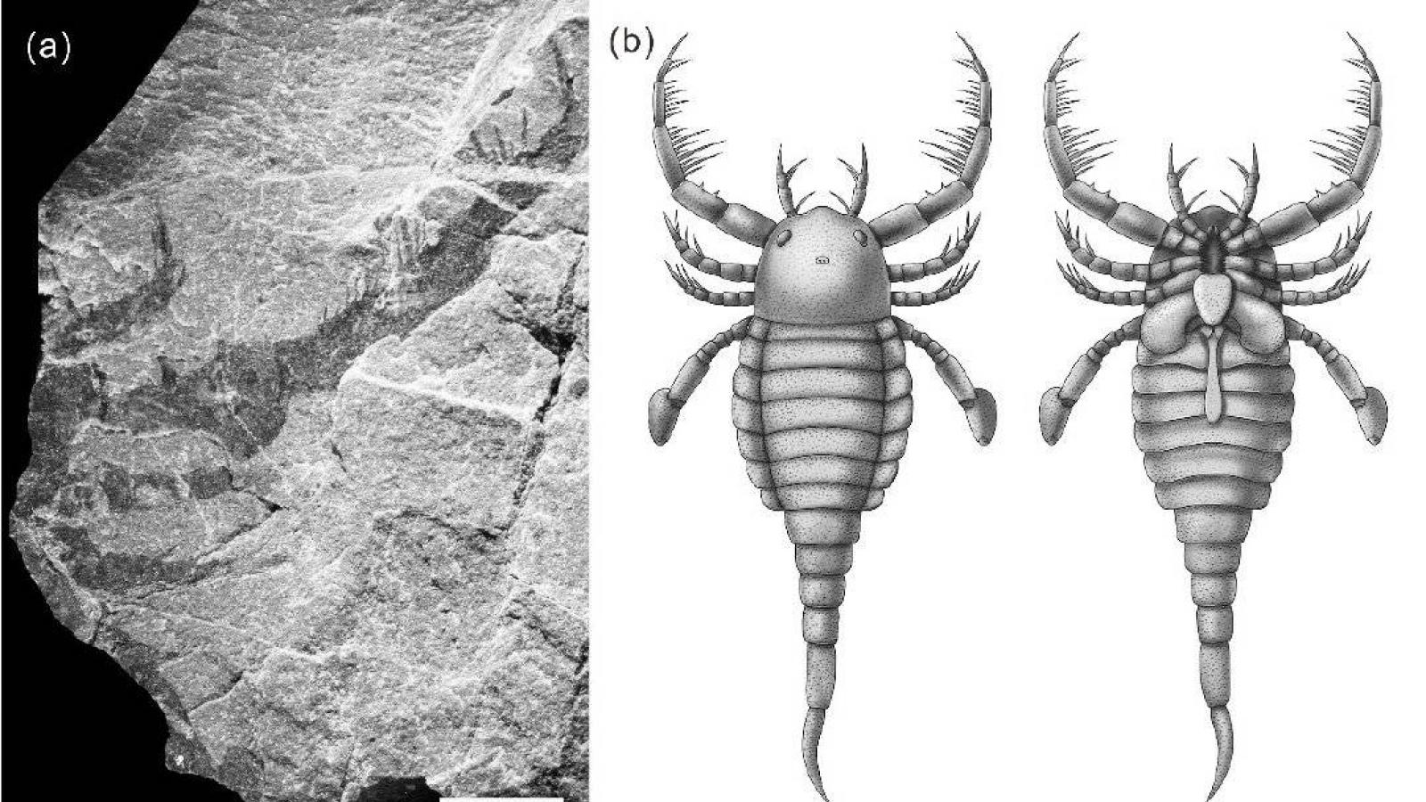 """Trung Quốc phát hiện hóa thạch """"Bọ cạp biển"""" 430 triệu năm"""