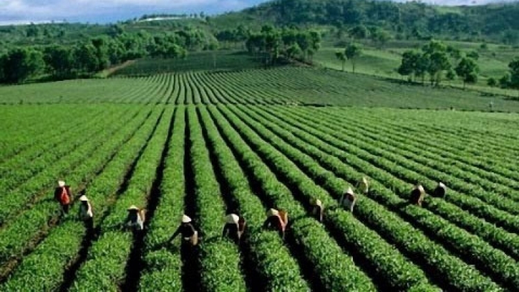 Tea exports plunge due to COVID-19 impact