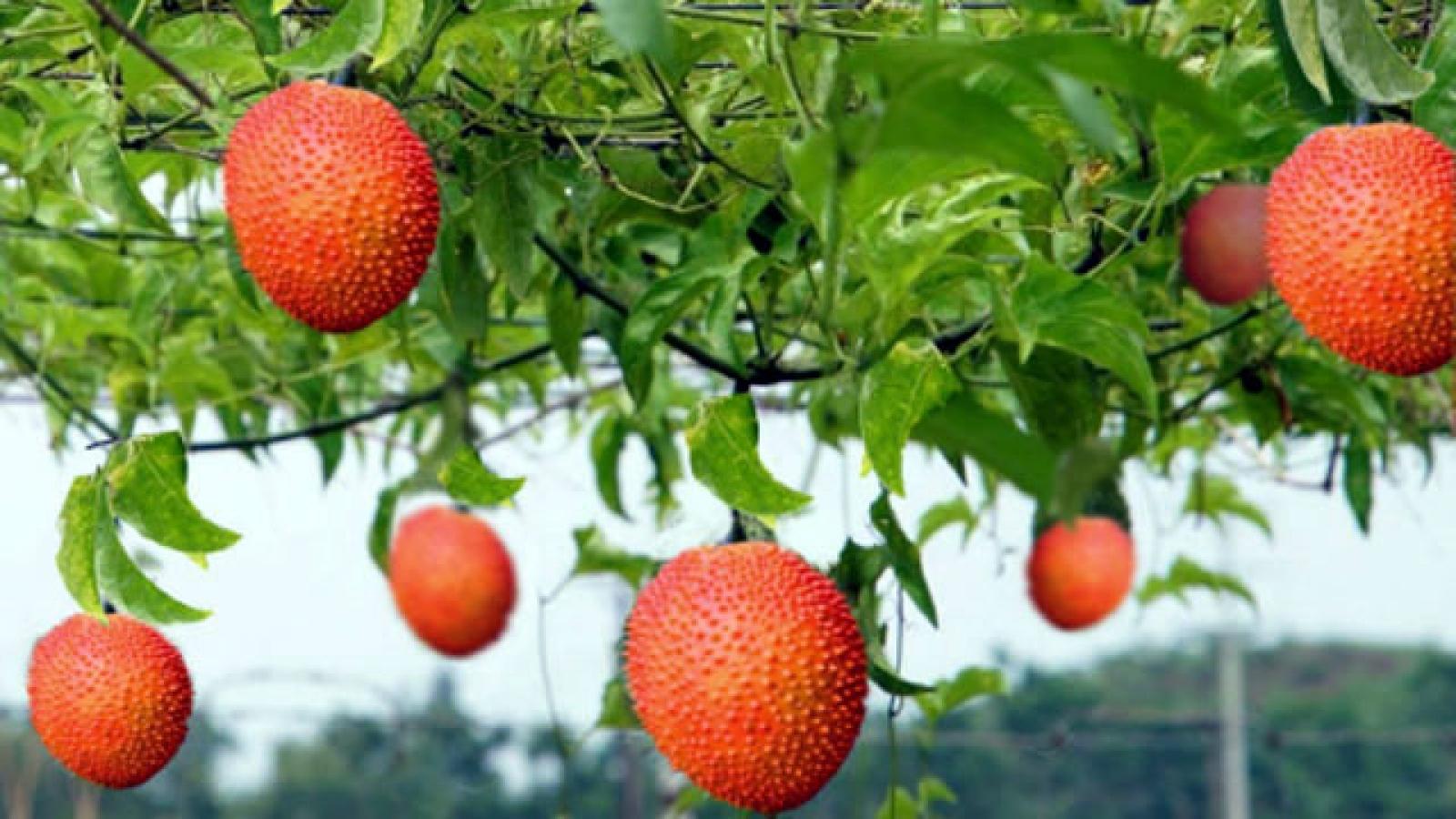 """Trái cây """"đến từ thiên đường"""", thương lái đến tận vườn thu mua"""
