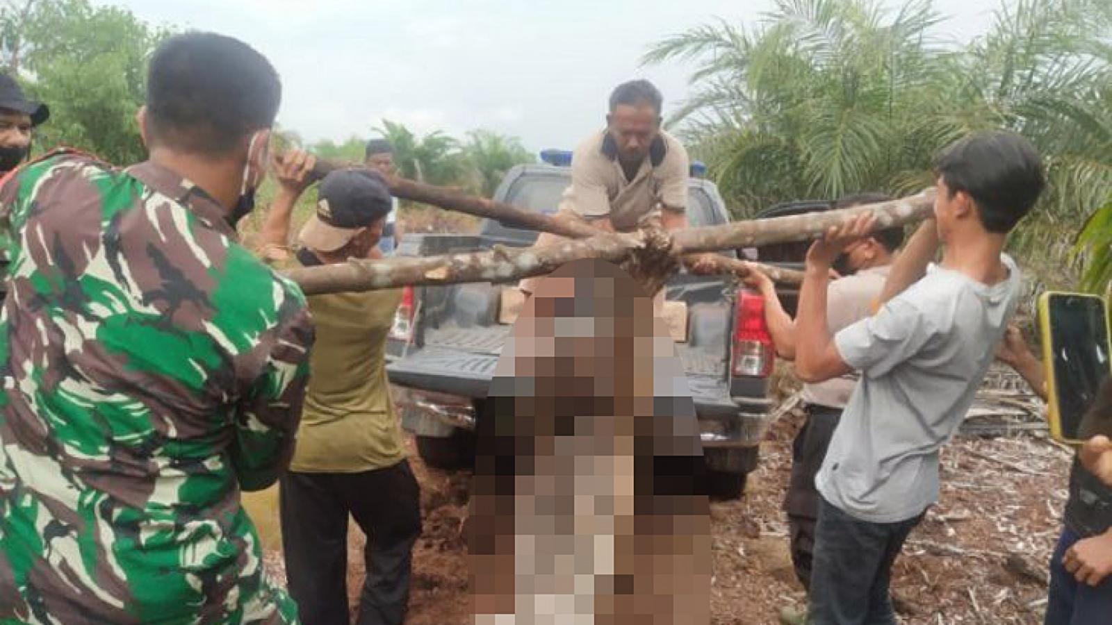 Indonesia: Hổ quý Sumatra chết vì dính bẫy