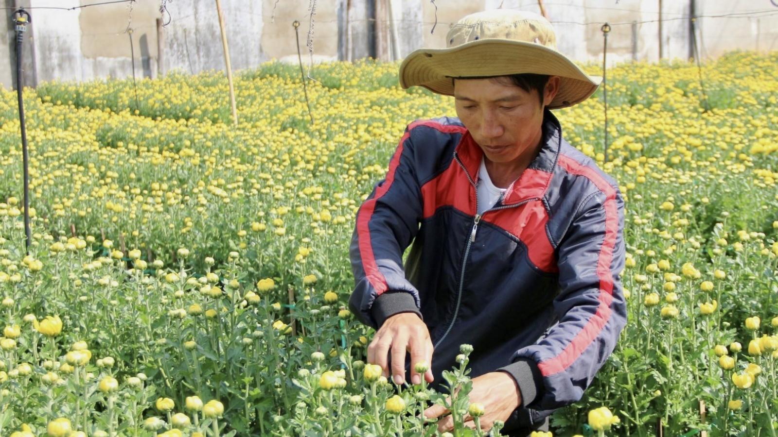 Nông dân Bà Rịa-Vũng Tàu giảm diện tích hoa Tết do lo ngại đầu ra