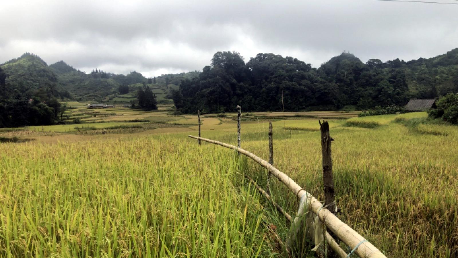 """Nông dân Lào Cai thắng lợi lớn nhờ """"cánh đồng 1 giống"""""""