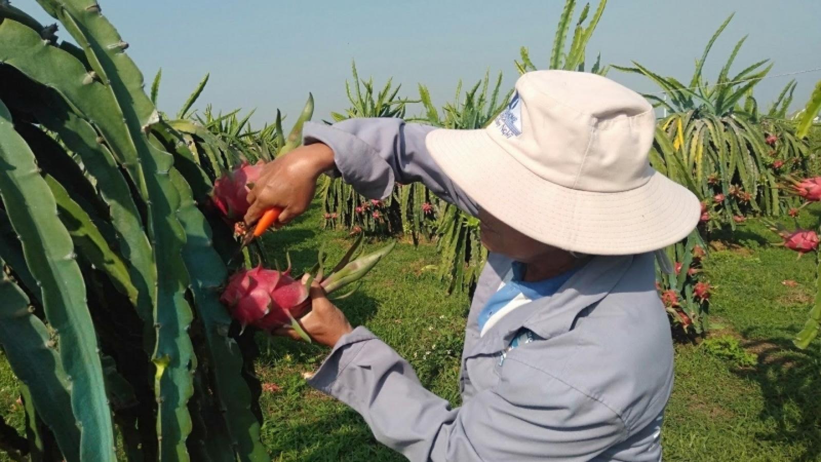 Nhiều cơ hội mới cho xuất khẩu, tiêu thụ thanh long Bình Thuận