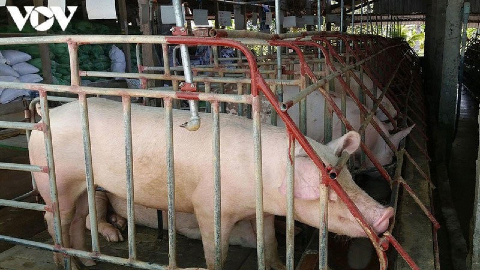 """Lợn """"ăn sổ đỏ"""", người chăn nuôi lại điêu đứng"""