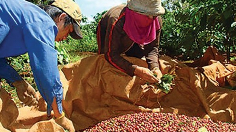 A sad year for Vietnam's coffee industry