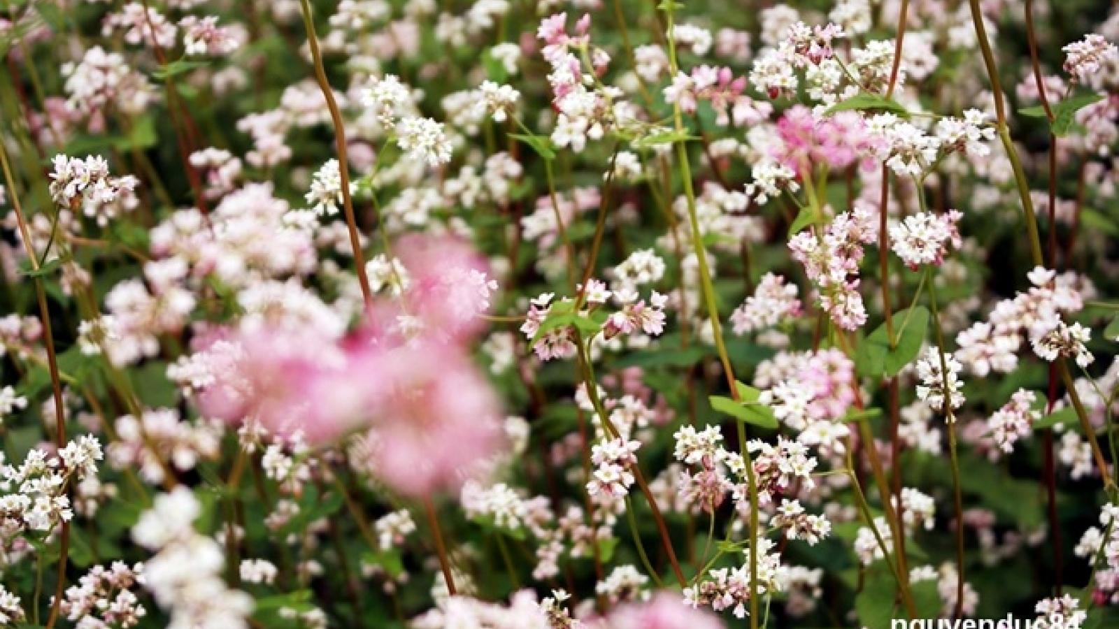 Da Lat brightened with Tam Giac Mach flowers blooming