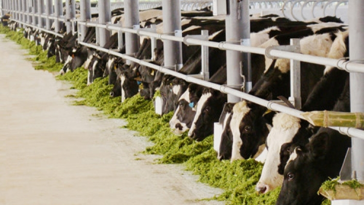 Vinamilk imports 6,000 cows to boost production