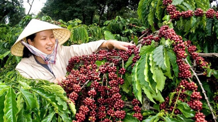 Internal, external factors challenge Vietnam's coffee exports