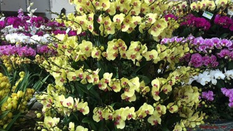 Exquisite orchid displays ready for Tet market bloom