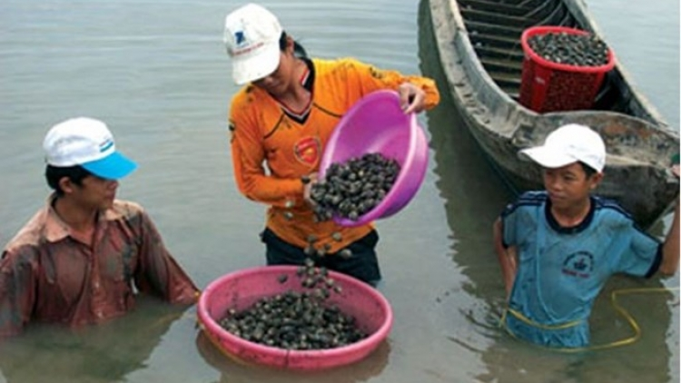 Ba Ria-Vung Tau: Oyster farming brings stable incomes to locals