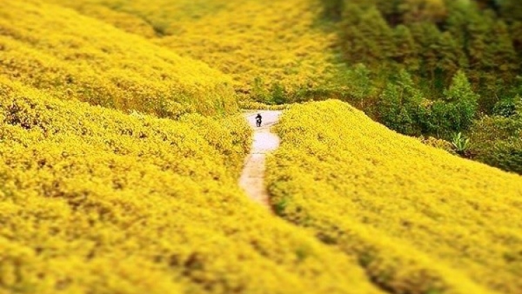 Wild sunflowers in full bloom in Da Lat