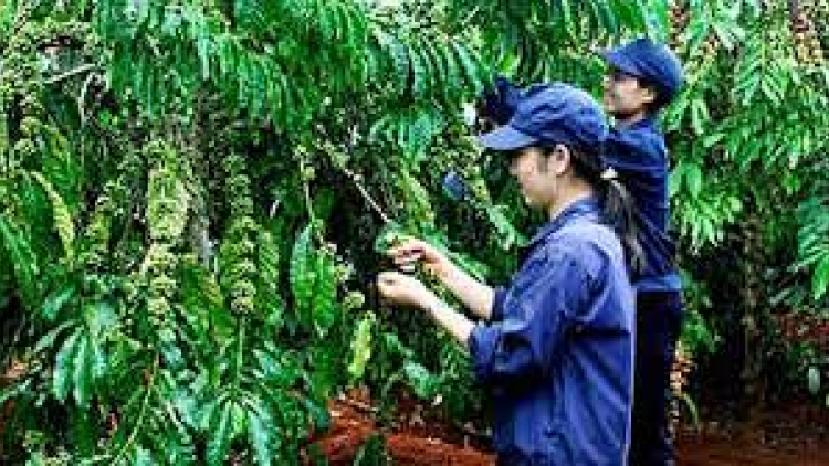 Improving productivity of smallholder coffee farms