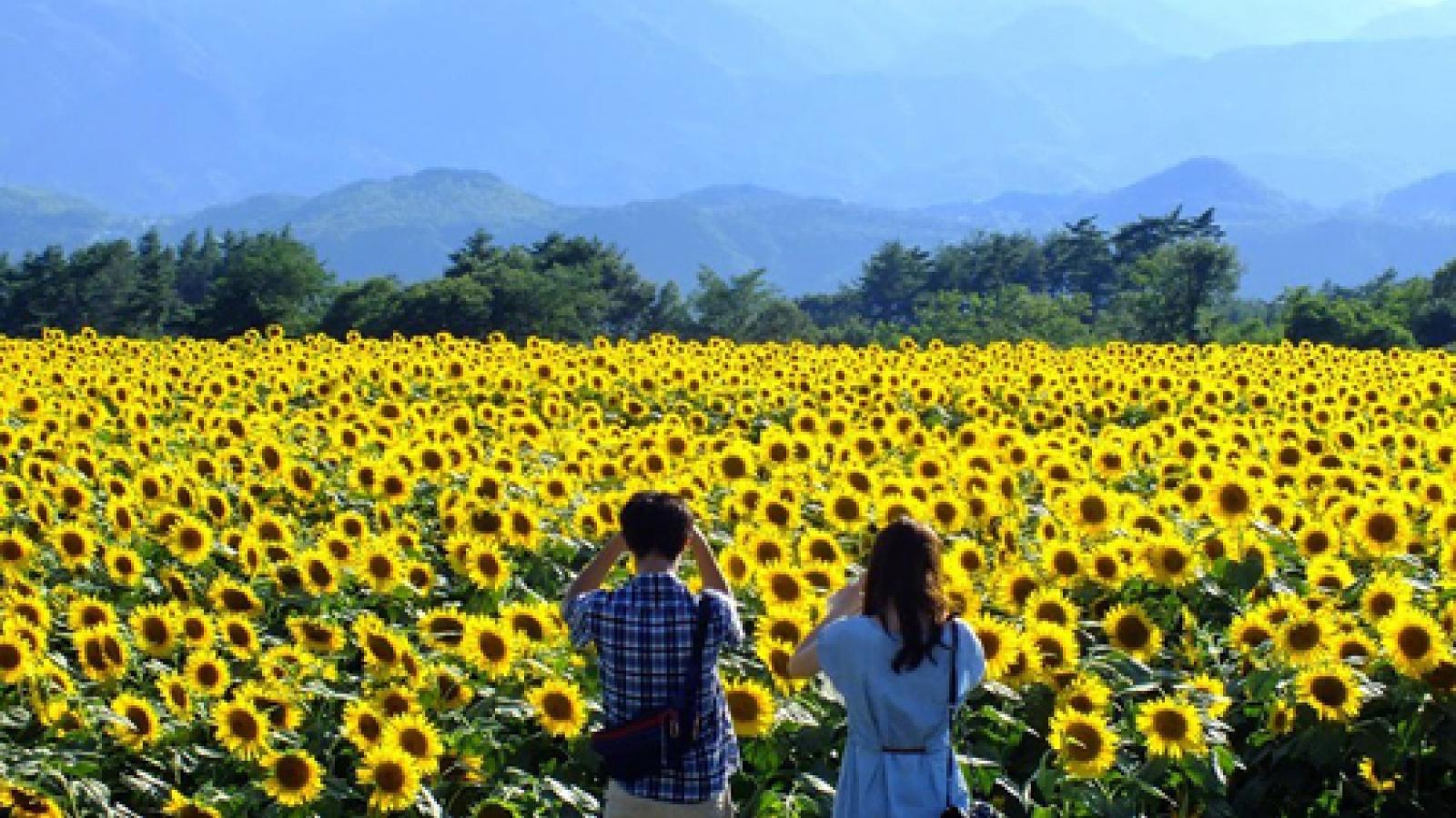 Sunflower fields abloom across northern Vietnam