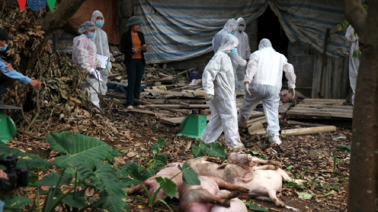 Efforts made to prevent spread of African swine fever in Quang Nam