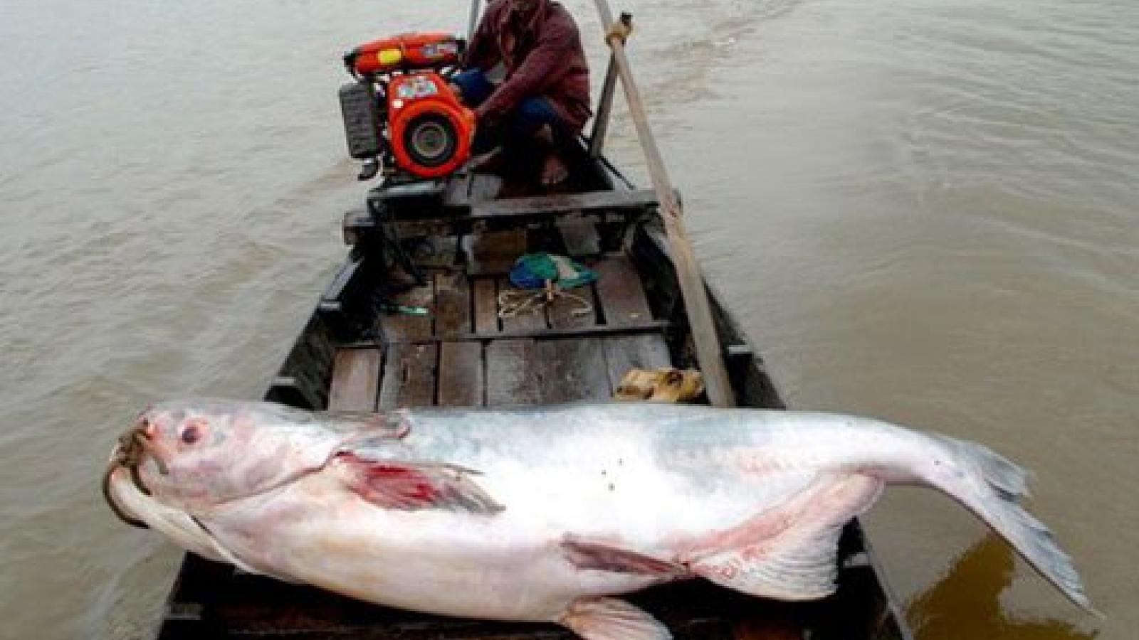 Mekong Delta localities launch mass release of shrimp, fish fry