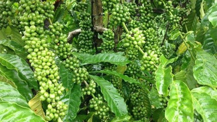 Prices plunge for coffee exports over five months