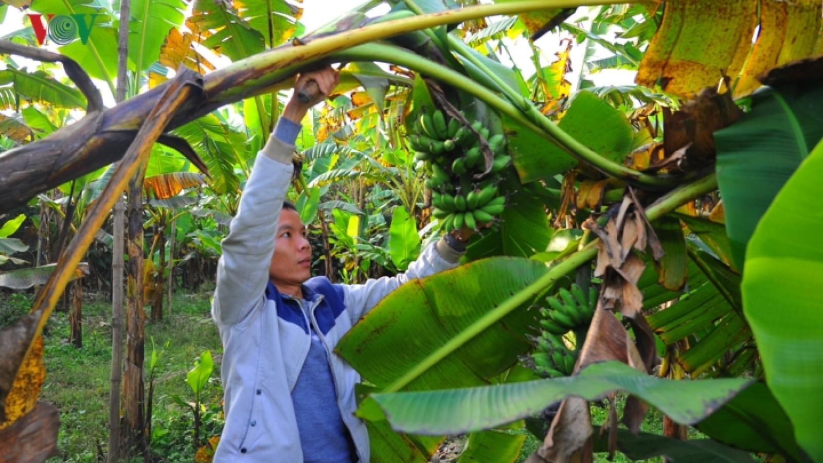 Dai Hoang bananas in high demand ahead of Tet
