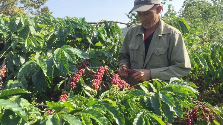 Coffee export volumes jump, value falls in Q1