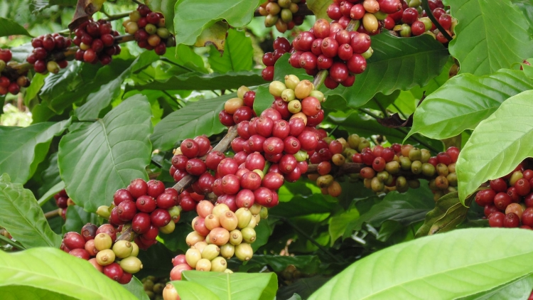 The paradox of Vietnamese coffee industry