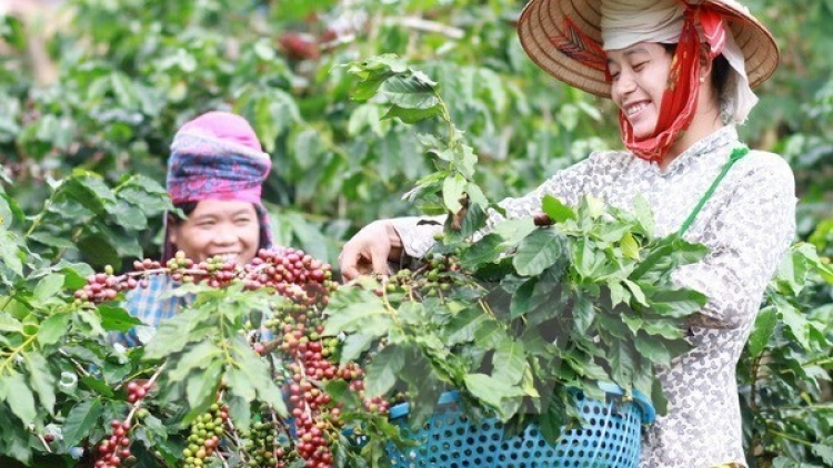 Central Highlands: high coffee prices offset declining output