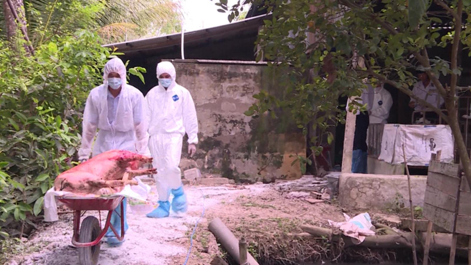Fresh outbreak of African swine fever detected in Hau Giang