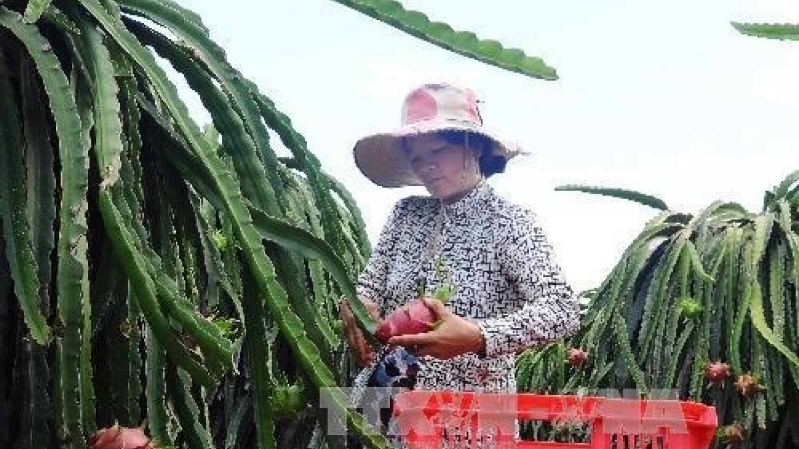 Binh Thuan exports 163 tonnes of dragon fruit to UAE