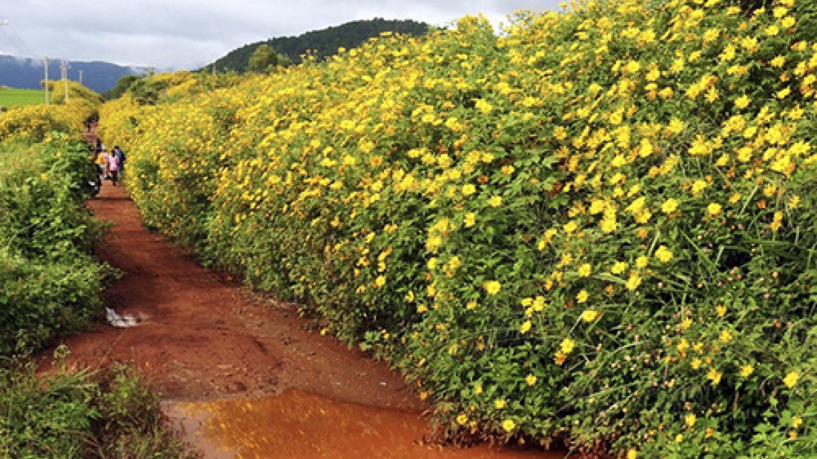 Wild sunflower season in Vietnam's plateaus