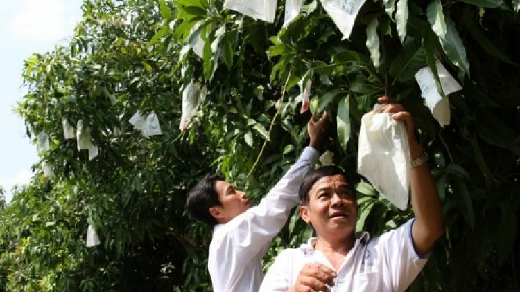 Mango farmers plagued by false rumor of unsafe wrapping bags