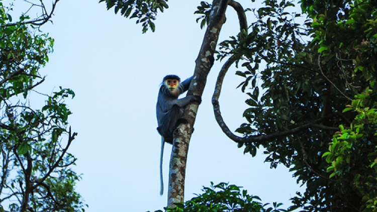 Rare monkeys left to disappear in central Vietnam