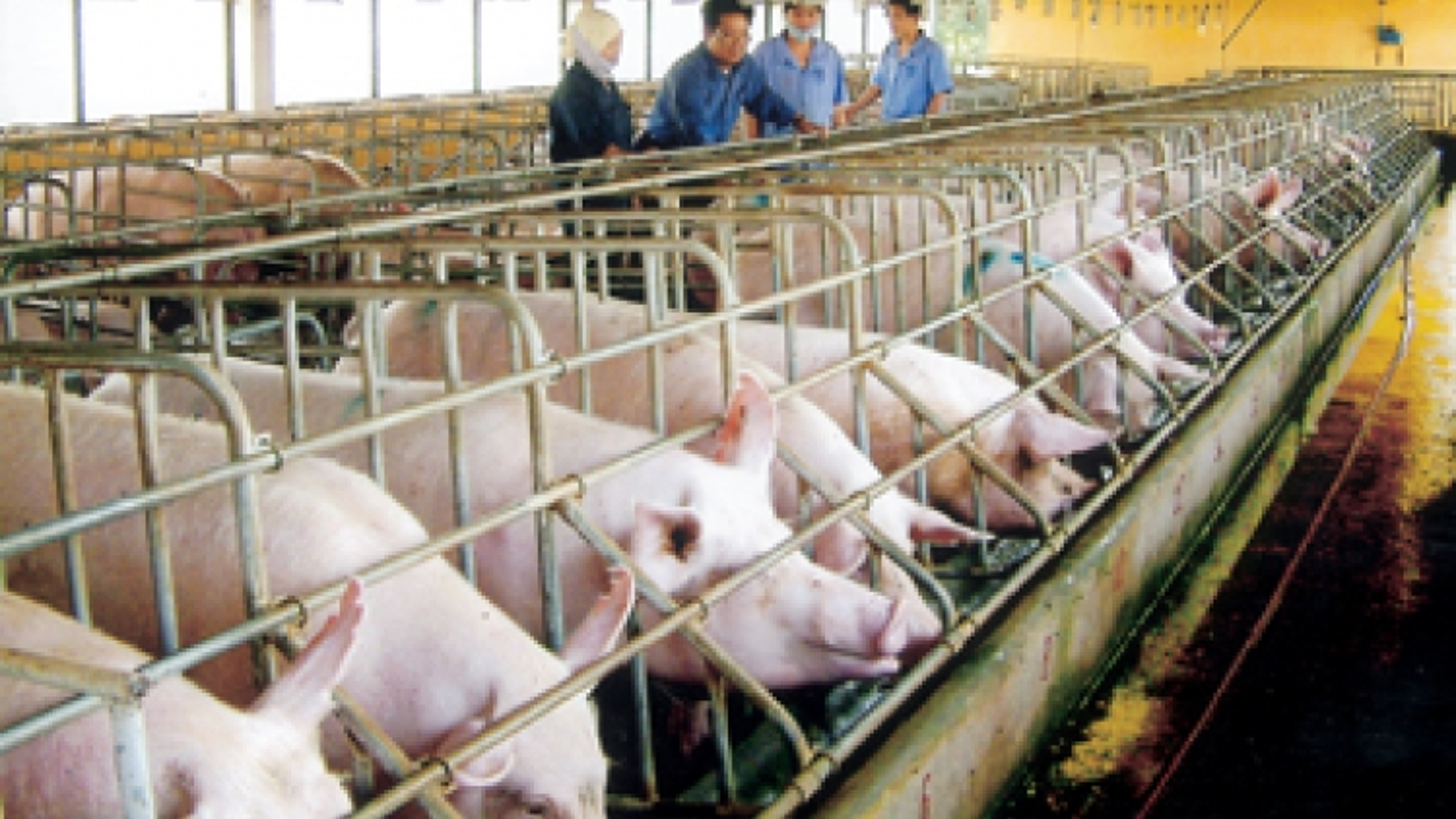 African swine flu likely to enter Vietnam