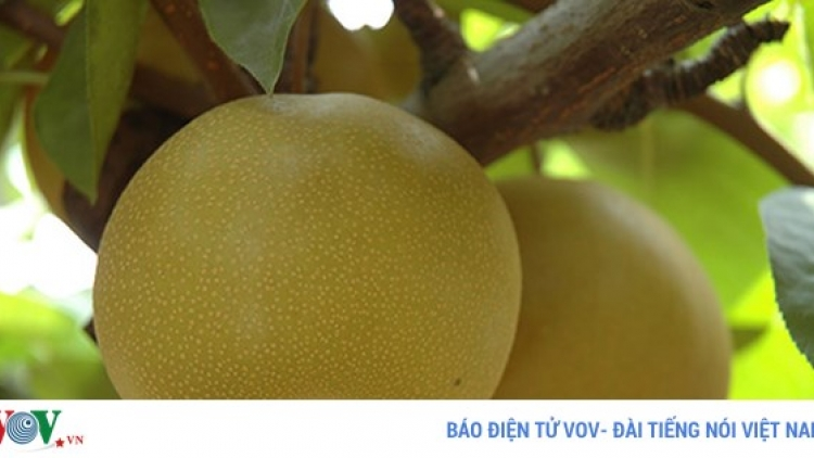 Japanese pears hit Vietnamese market shelves