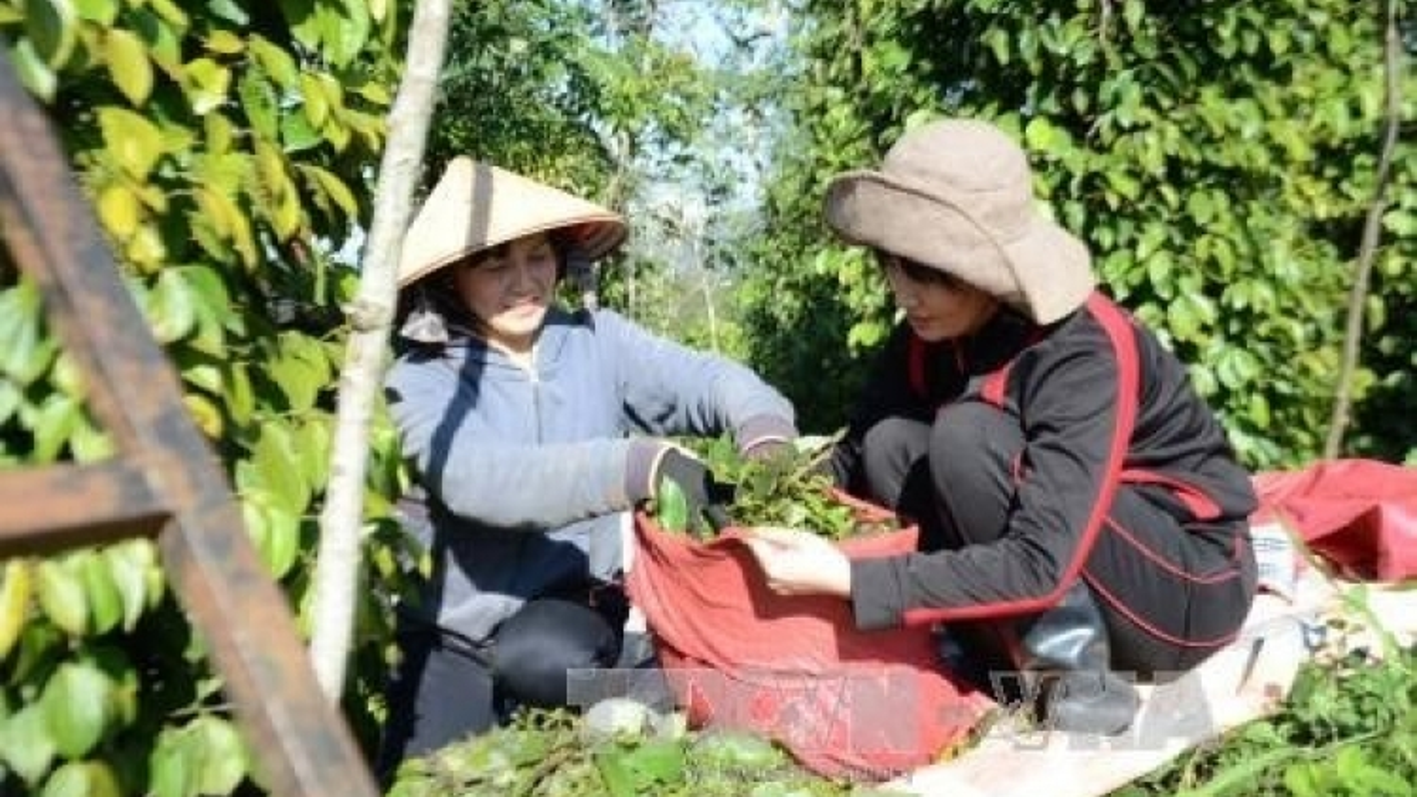 Pepper growers reap organic farming benefits
