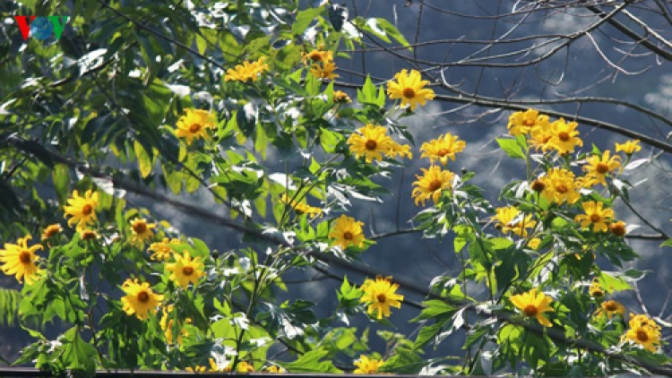 Blossoming wild sunflowers brighten Lai Chau