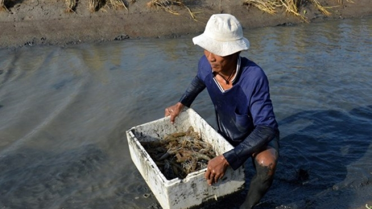 Ca Mau eyes growth with special focus on shrimp production