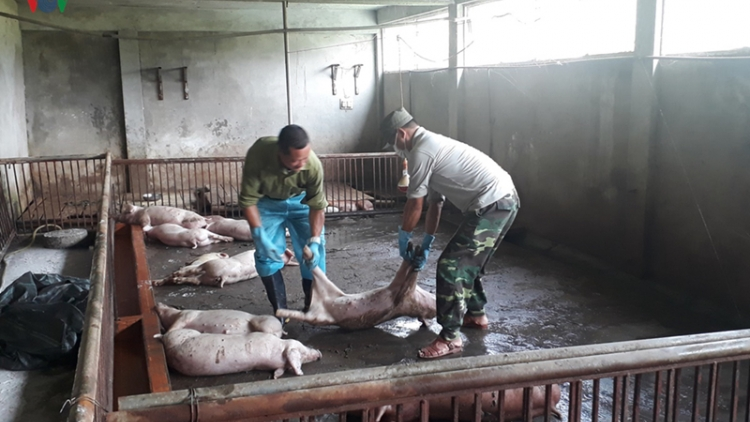 Lao Cai province sees spread of African swine fever